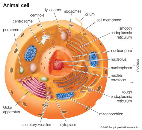 labeled cell diagram human cells structure with label diagram animal cell