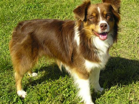 types of shepherd dogs basque shepherd breed standards