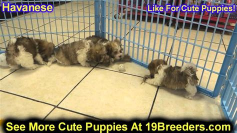 puppies for sale in st louis mo havanese puppies dogs for sale in louis county missouri mo 19breeders