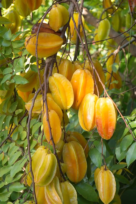 carambola fruit tree an abundance of fruit a winter harvest on