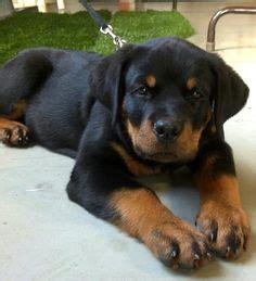 raising a rottweiler puppy rottweiler photo rottweiler puppy image jpg 23 comments rottweiler
