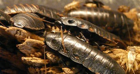 come eliminare le blatte in cucina disinfestazione blatte e disinfestazione scarafaggi