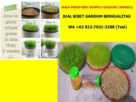 Jual Bibit Rumput Gandum Di Bandung wa 62 822 7621 3288 tsel bibit wheatgrass di bandung