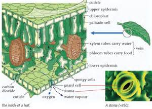 plant leaf cross section