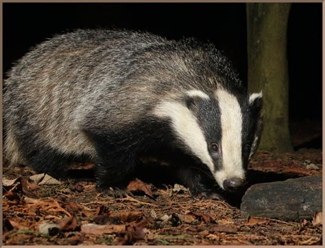 badger pattern works image of the day by subject