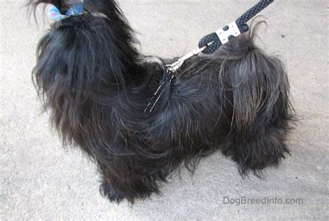 imperial vs shih tzu imperial breed information and pictures