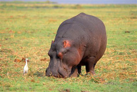 si鑒e social hippopotamus hippopotamus hippo 9 wallpaper 3872x2592 219343