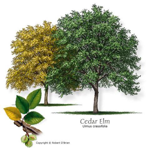 fiori di bach elm i fiori di bach elm e oak sottili differenze tra i rimedi