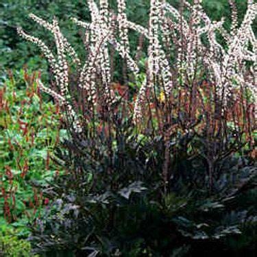 Outside Plants cimicifuga seeds cimicifuga ramosa atropurpurea flower seeds