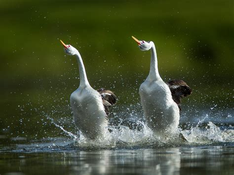 birds quot walk quot on water to impress mates here s how they do it
