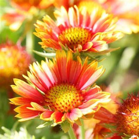 perennial garden flowers 27 beautiful perennial flowers that suits your garden
