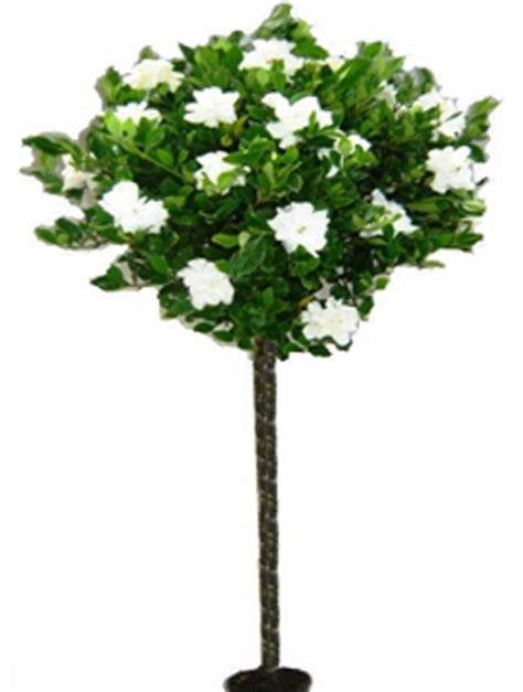 gardenia topiary tree gardenia tree special things gardenias