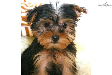 teacup yorkie columbus ohio teacup yorkie puppies columbus ohio breeds picture