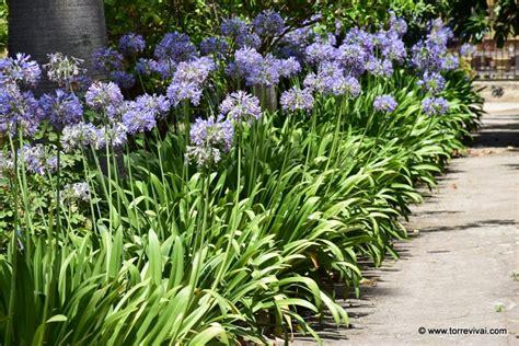 agapanthus fiore agapanthus praecox coltivazione e vendita