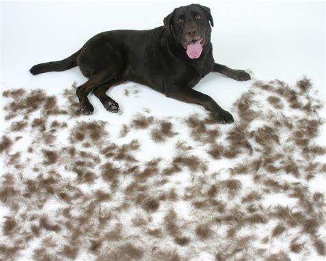 What To Do For Shedding by Troca E Queda De Pelos Em C 227 Es Tudo Sobre Cachorros