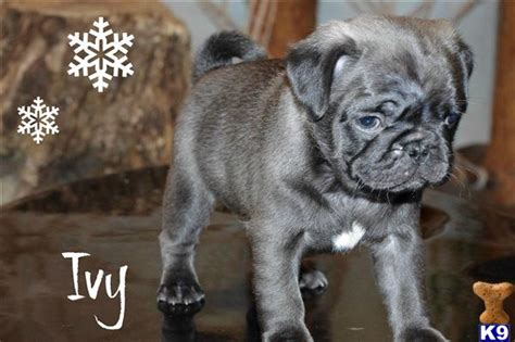 silver fawn pug puppies for sale pug puppies in white silver black and fawn 43468