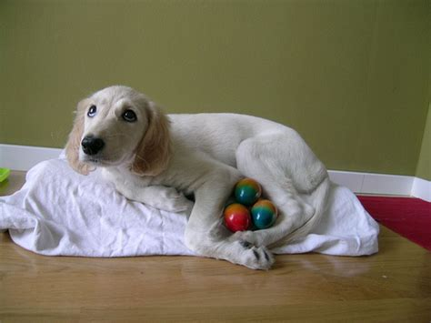 puppy eggs 35 saluki puppy pictures and images