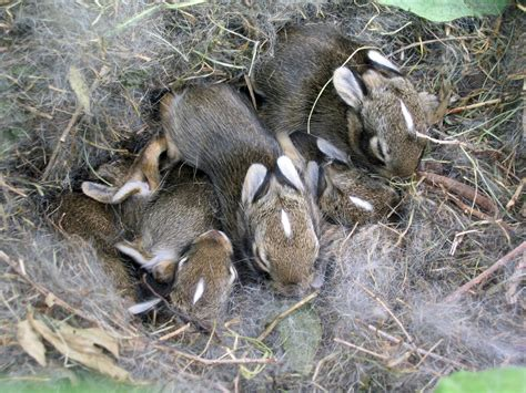 Baby Nest Bunny Blue baby rabbit nest this nest of baby rabbits was found in a flickr