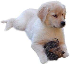 country acres puppies goldens of country acres sabattus me golden retriever puppies maine breeder