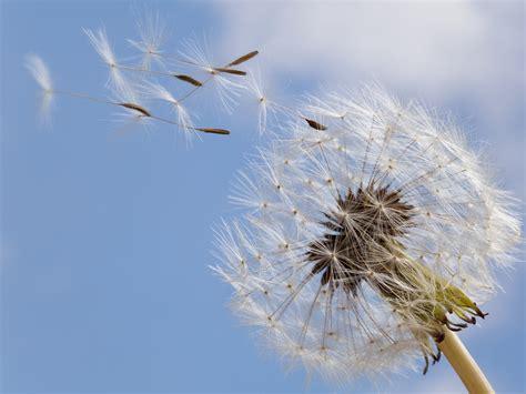 la breeze dandelion in the breeze behind the scenes virtual coo
