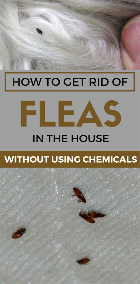 rid  fleas   house
