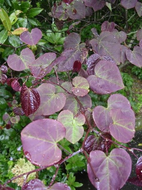 redbud forest pansy variety cercis canadensis forest pansy redbud tree that provides a