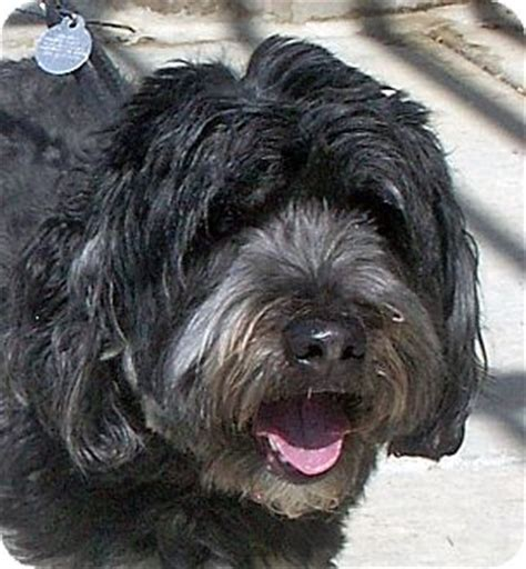 adoption boise dolly adopted boise id lhasa apso wheaten terrier mix