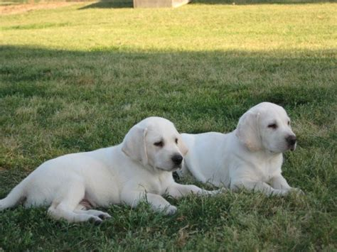 labrador puppies for sale ga 17 best ideas about white labrador on white lab puppies white lab and