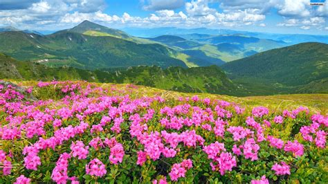 Flower Mountain flowers in the mountains wallpapers high quality