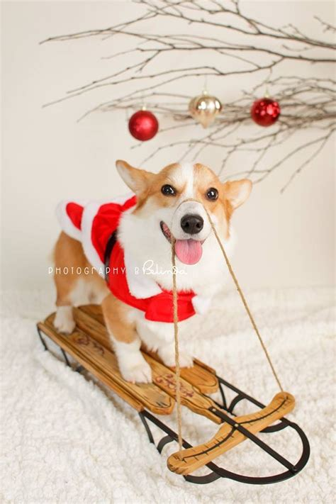 henry the ã s corgi a feel festive read to curl up with this books my co worker s corgi pancake had some festive photos