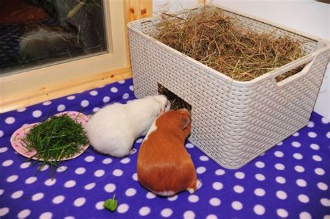How To Make A Hay Rack For Guinea Pigs by 134 Best Guinea Pig Images On