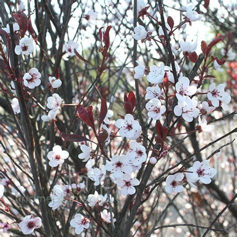 plant pictures prunus cerasifera pissardii purple
