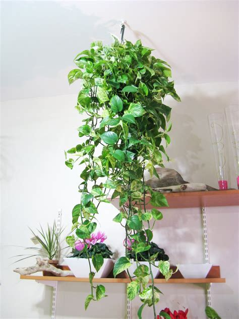 hanging plants dowd s flower shop new hanging plants