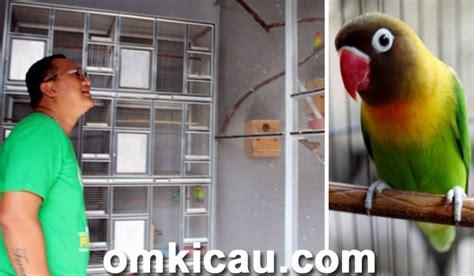 Bros Dua Burung lovebird fernando umur 7 bulan sudah hasilkan rp 45 juta klub burung