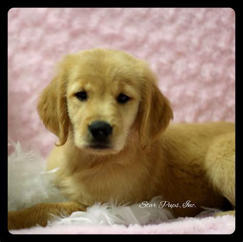 Shoo Pet Shop golden retriever shop golden retriever shoo golden retriever f golden sold pups