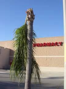 Broken palm tree flickr photo sharing