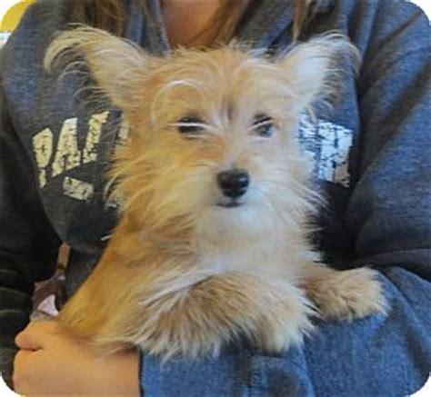 yorkie rochester ny ace adopted puppy rochester ny pomeranian yorkie terrier mix