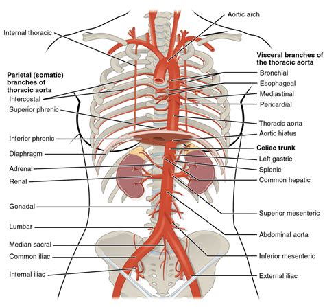 artery diagram descending aorta anatomy human anatomy diagram