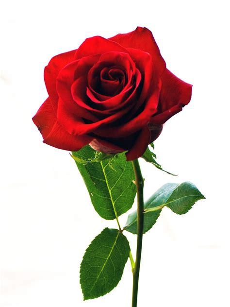 setangkai bunga mawar pink www imgkid the image kid has it
