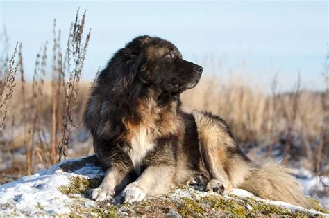 Caucasian Also Search For Caucasian Shepherd Family Pet Or Ruthless Killer Europuppy