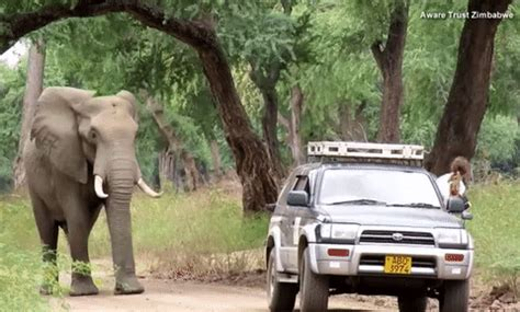 aggressive rescue elephant smartly seeks help from doctors after being in the