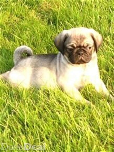 pugs for sale gumtree 17 best images about dogs on dogs for sale bull terriers and pug