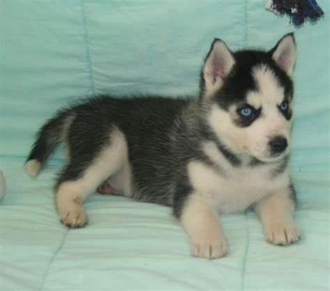 husky puppies for sale in dallas dogs dallas tx free classified ads
