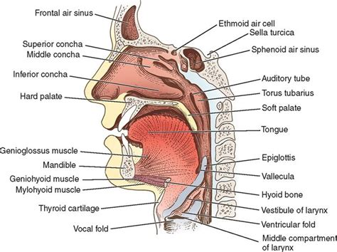 comfort keepers ithaca ny sagittal section of head and neck 28 images head and