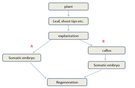 embryogenesis pattern formation from a single cell plant regeneration via somatic embryogenesis agrihunt