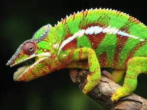 colorful chameleon beautiful and colorful panther chameleon pictures