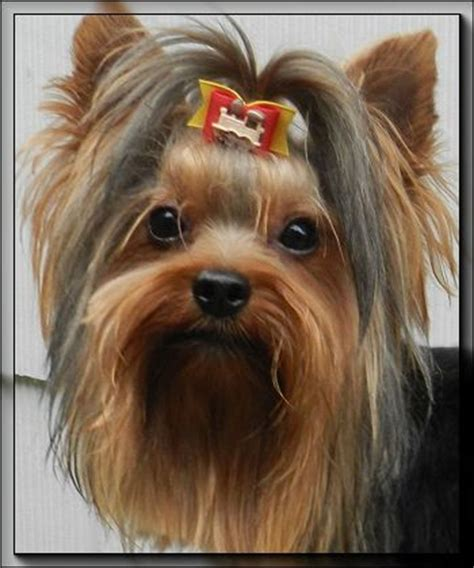 yorkies for sale in wyoming 17 best images about yorkies on pet accessories yorkie puppies for sale