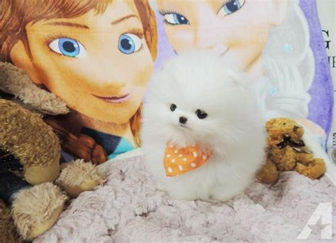 5 pound pomeranian 2 5 pounds grown teacup pomeranian 732 444 7270 for sale in brownsville