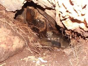 den general ecology of coyotes
