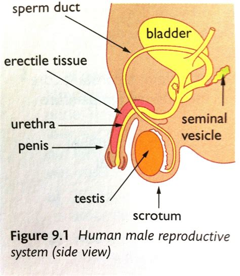 diagram reproductive organs reproductive system diagram labeled images